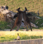 Duck Spectator